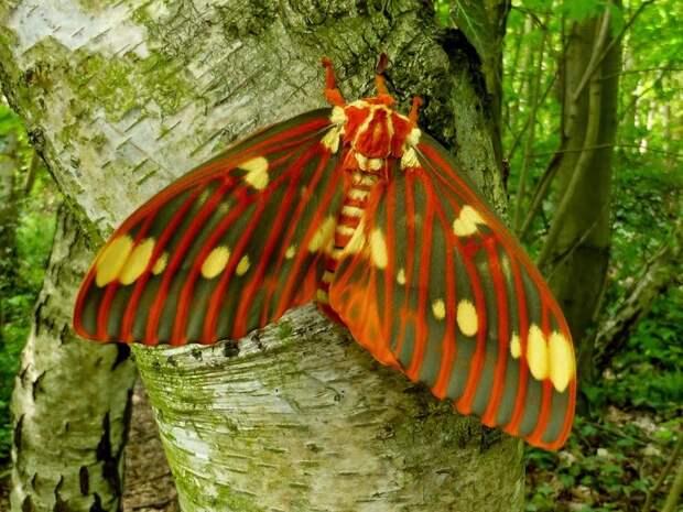 Как выглядит бабочка, в которую превращается самая большая гусеница в мире