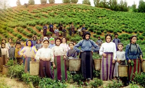 Чаеводство получило широкое распространение на территории Грузии и Азербайджана в 1920-30 годы / Фото: daily.afisha.ru