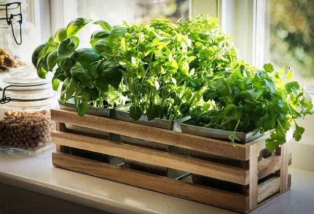 Зелень можно выращивать на подоконнике. / Фото: sornyakov.net