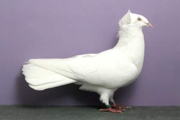 Каких только голубей не бывает