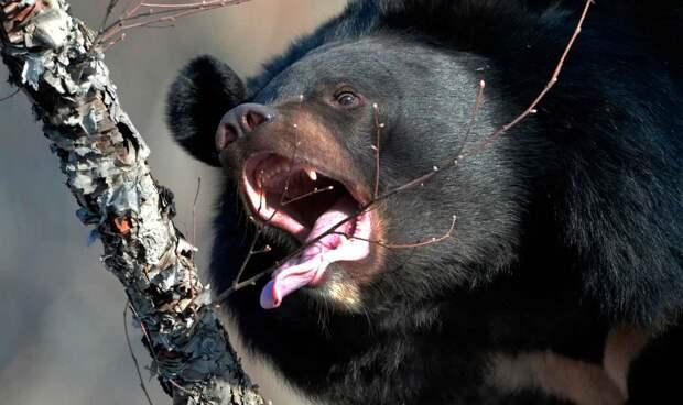Гималайский медведь питается растительной пищей