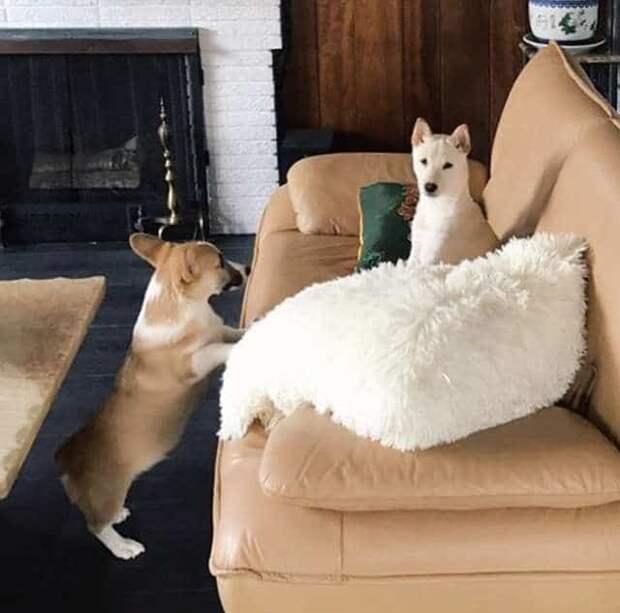 У корги слишком короткие лапки для того, чтобы залезть на диван, но хозяева придумали, как ему помочь