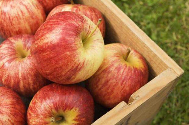 Хранение яблок зимой Домострой