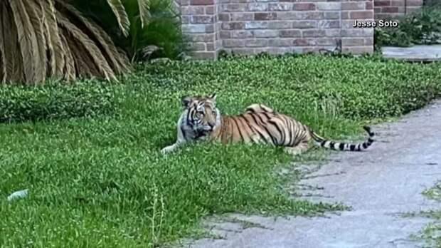 Полицейские неделю ловили гуляющего тигра