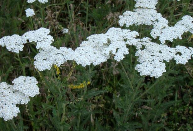 Целебные растения, которые заменяют аптечку