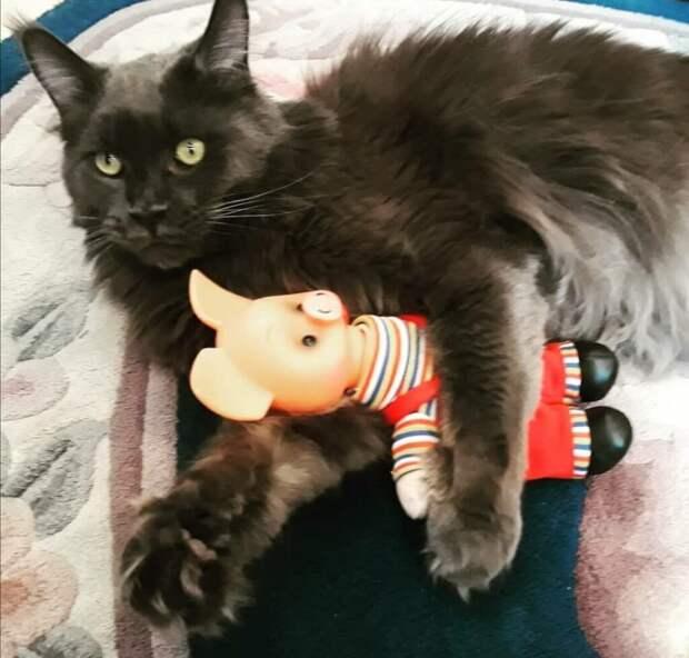 Котёнок мейнкун оказался ненужный моей супруге, и она сказала мне от него избавиться