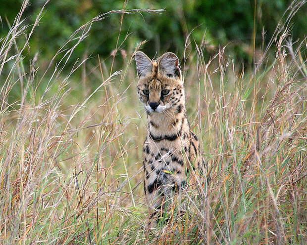 африканский сервал. фото