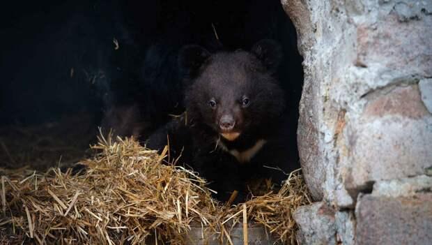 Детеныш гималайского медведя