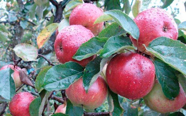 Всеми любимые сорта яблонь, которые исчезают с наших участков