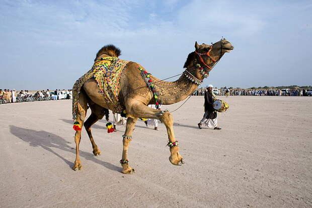 Лучшая стрижка верблюда