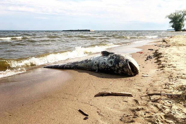 На берег Волги выбросило огромного мертвого сома