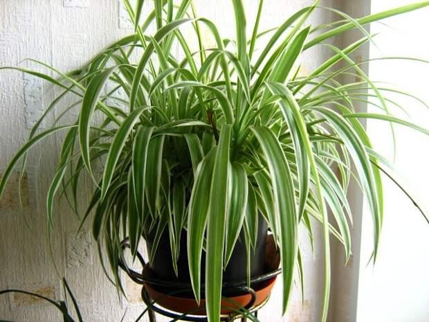 Хлорофитум хохлатый украсит окна в доме и летнюю клумбу