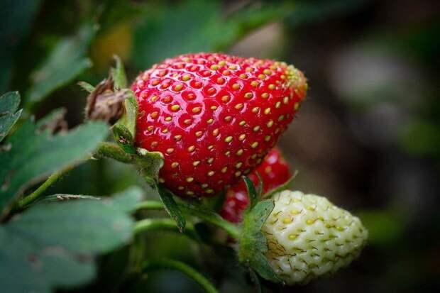 Беспощадно вырываю «мужские» кусты клубники, оставляю «девочек» для крупных ягод