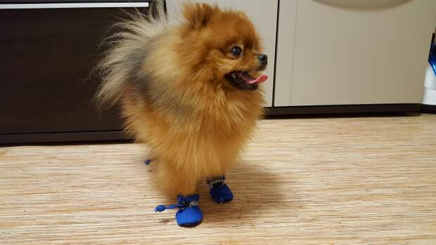 """""""Хозяин, лапы же мёрзнут!!!"""" Обзор теплых водонепроницаемых ботинок для собак :)"""