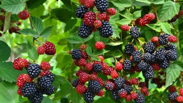 Ежевика садовая - описание, посадка, уход, сорта