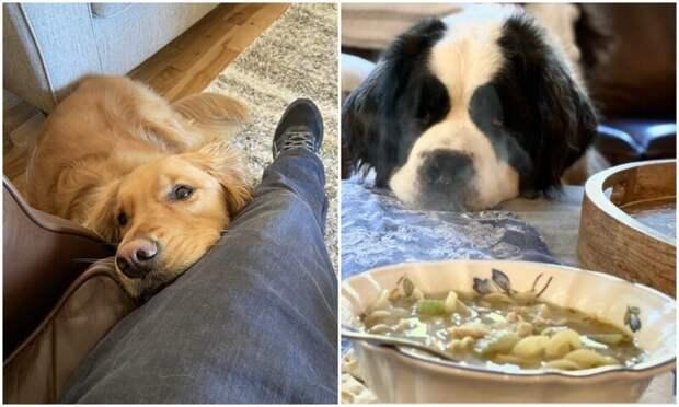 Смотрит прямо в душу: 30 собак, которые выпрашивают еду у хозяев