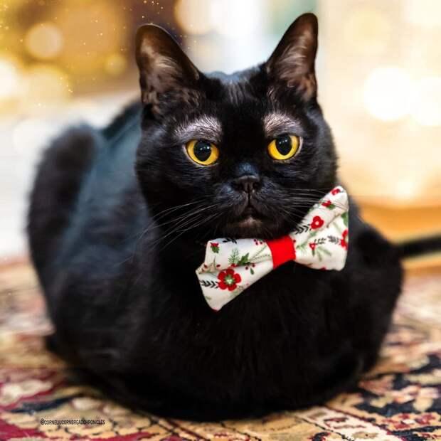 «Люди готовы платить за такие брови»: у бомбейского кота не растёт шерсть над глазами, но это стало его фишкой
