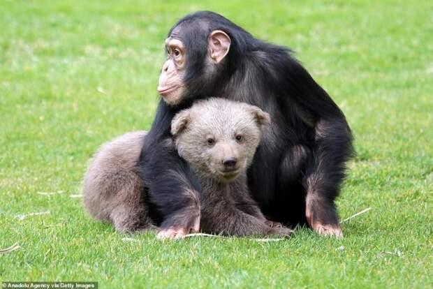 Шимпанзе подружился с маленьким мимимишкой