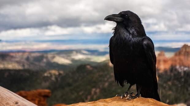 Петербуржцы заметили гуляющего с поводком на лапе ворона