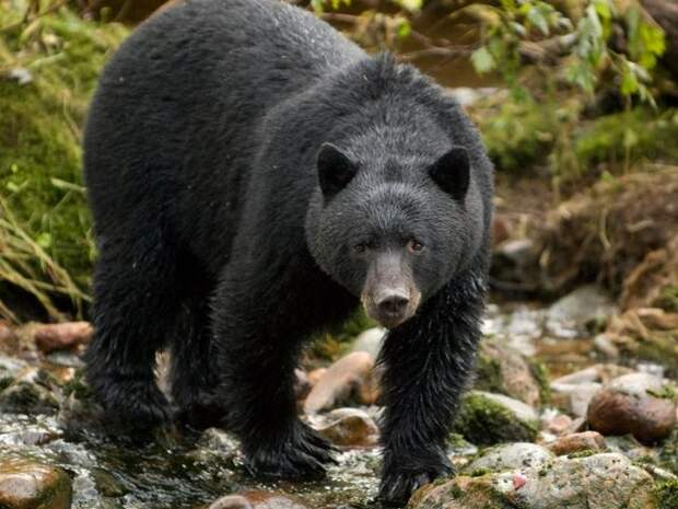 Барибал-медведь-Описание-и-образ-жизни-барибала-1