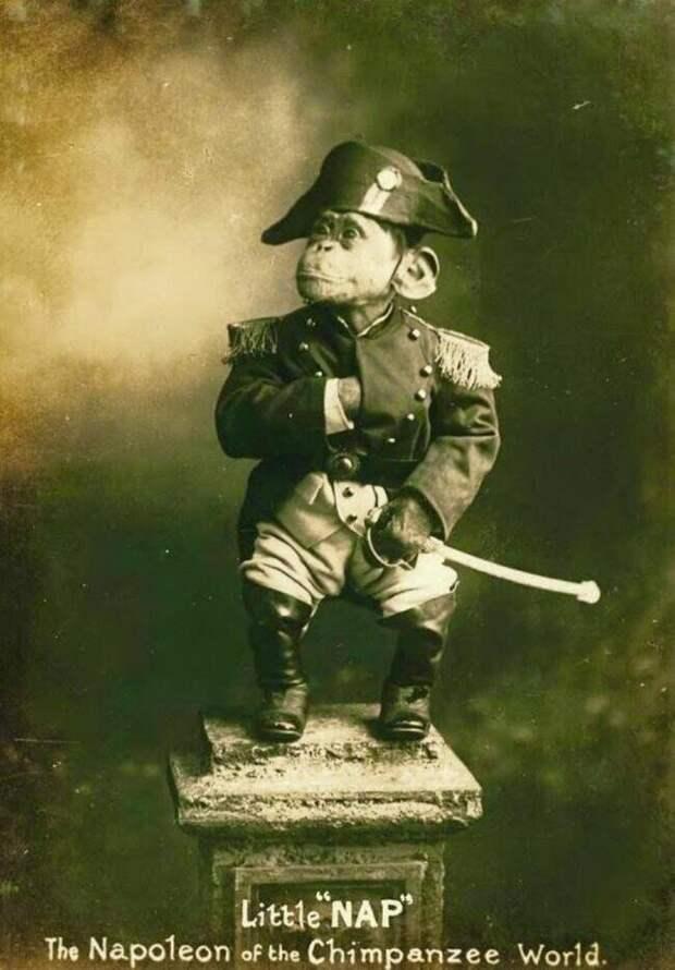 """34. """"Маленький Нап"""", """"Наполеон мира шимпанзе"""" - цирковой шимпанзе, который был очень популярен в 1915 году"""