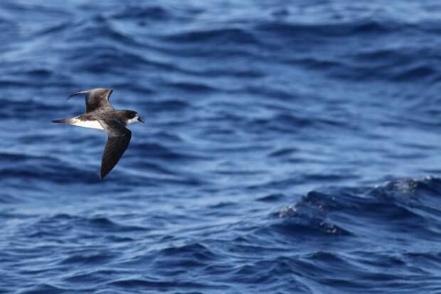 6. Бермудский тайфунник животные, интересно, наука, природа, существа, факты
