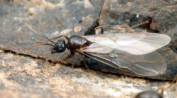 самец /myrmecos. ... Lasius alienus antclub.ru муравьи