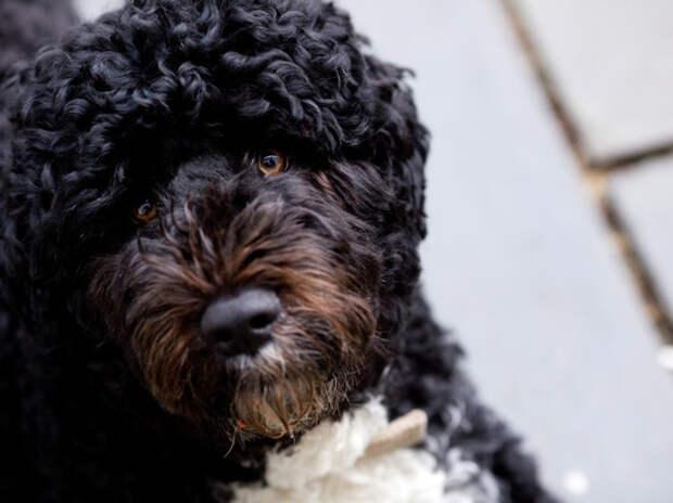 Барак Обама объявил о смерти своей собаки Бо