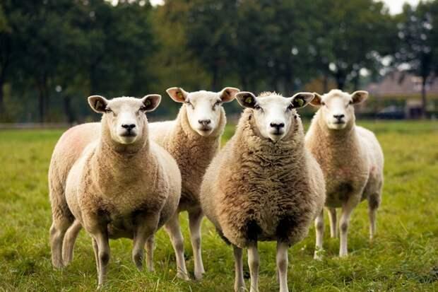 Кто вы: милая овечка или волк в овечьей шкуре?