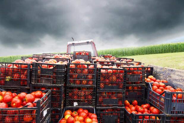 Чем больше солнца - тем слаще плоды томата
