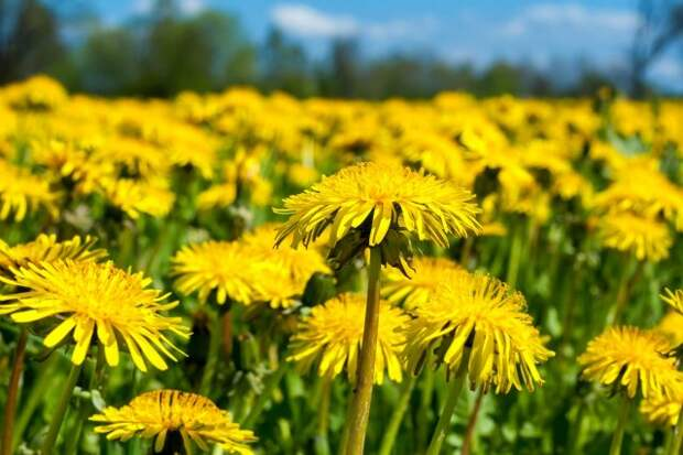 Close up of spring dandelion field (differential focus)