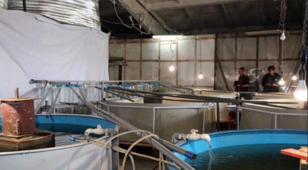В Новосибирской области вывели рыбный гибрид пелчирмук