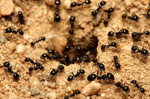 Чем полезны муравьи и почему я не стану изгонять их с участка: 5 фактов о пользе муравьев в огороде