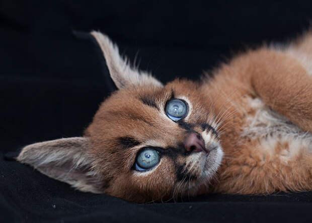 «Золотая кошка» каракала: 20 потрясающих снимков грациозного экзота