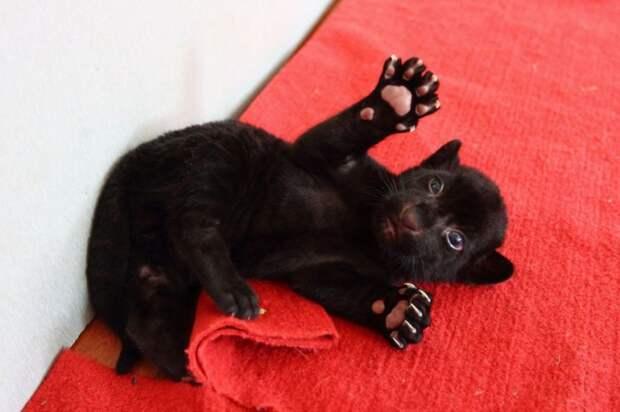 Уникальный черный тигренок без полосок тигр, животные