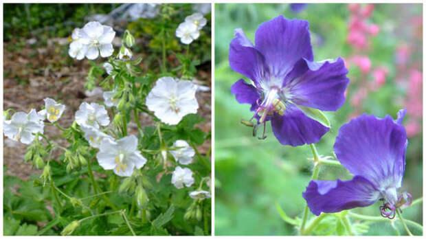 Герань красно-бурая f. album. Фото с сайта www.dorsetperennials.co.uk. Герань красно-бурая Langthorns Blue. Фото с сайта ru.pinterest.com