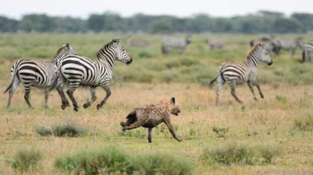 Интересные факты о пятнистой гиене