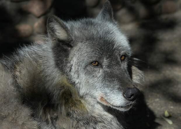 Одна из старейших волчиц умерла в нижегородском зоопарке «Лимпопо»