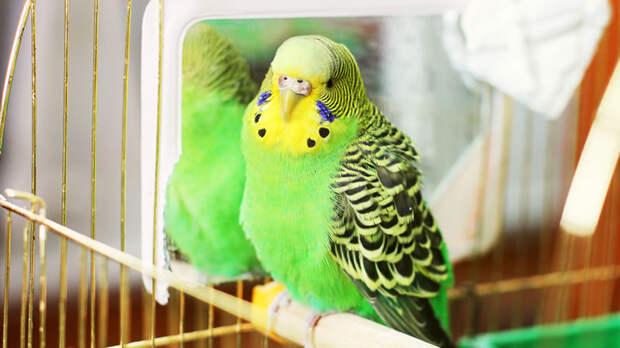 Выпускать попугая из клетки следует лишь после периода адаптации