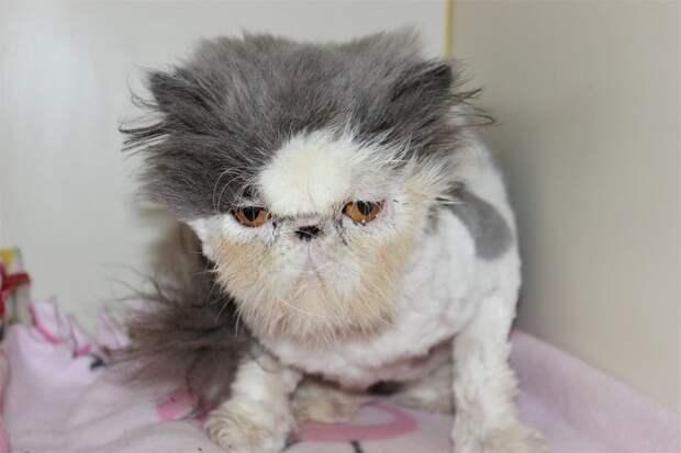 «У бедолаги зарос шерстью левый глаз!» Спасение породистого кота, которого никогда не ценили…